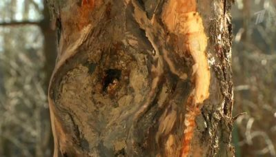 Пораженное дерево